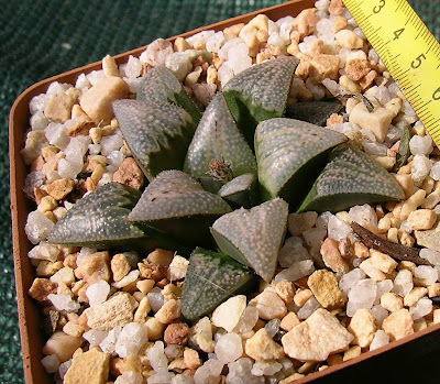 Haworthia cv. Lombard Star