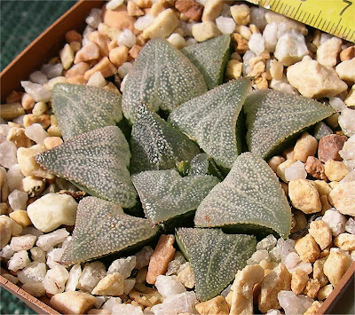 Haworthia cv. Sugardad