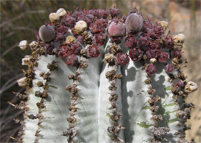 Euphorbia horrida Snowflake