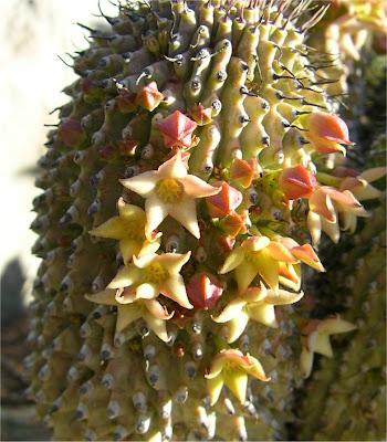 Hoodia pilifera subsp. pillansii