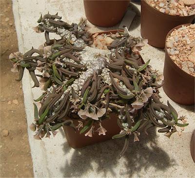 Euphorbia cylindrifolia subsp. tuberifera