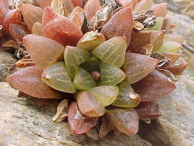 Haworthia suberecta turgida