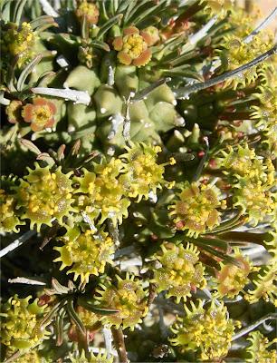 Euphorbia multiceps pyramidalis