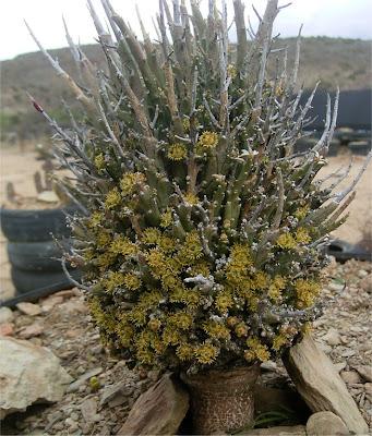 Euphorbia multiramosa