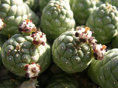 Euphorbia fortuita