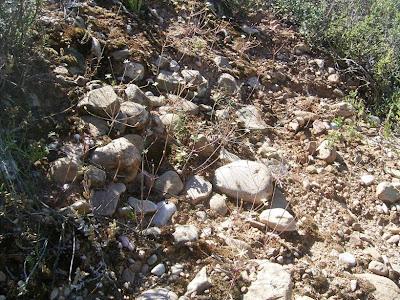 Strumaria gemmata