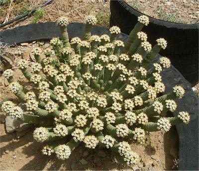 Euphorbia esculenta