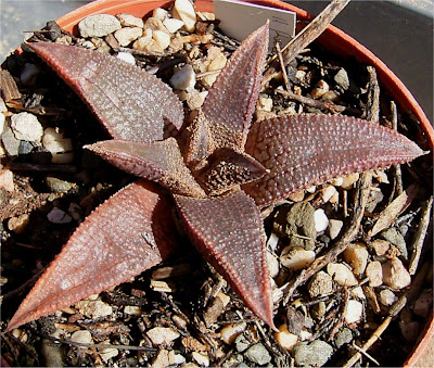 Haworthia koelmaniorum