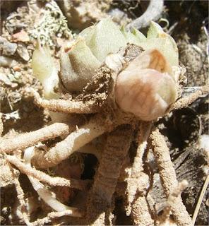 Haworthia standeri