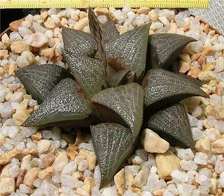 Haworthia bayeri X splendens