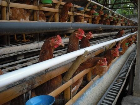 Central Unggas Farm Pemeliharaan Ayam Petelur Masa Grower