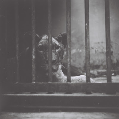 a lion in bandung zoo with lubitel 166 u and fuji neopan across 160