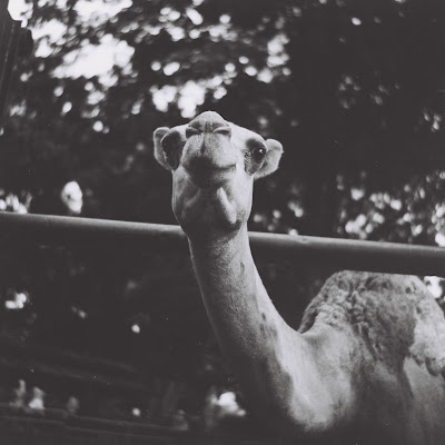 a camel in bandung zoo with lubitel 166 u and fuji neopan across 160