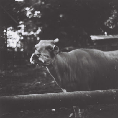 a cow in bandung zoo with lubitel 166 u and fuji neopan across 160
