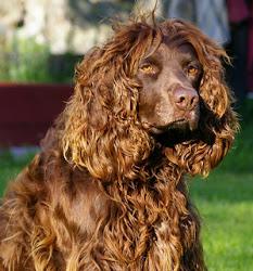 Hunden Svante