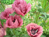 Patty's Plum Poppies