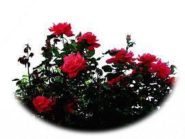 Más rosas