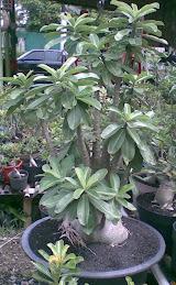 Arabicum Socrotanum