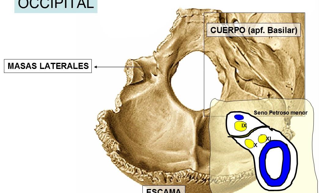 anatomia humana: PREGUNTA 10: ¿Qué elementos pasan por el agujero ...