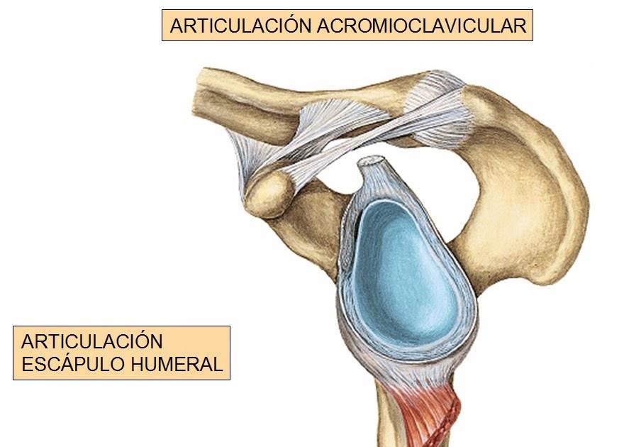 anatomia humana: ARTICULACION DEL HOMBRO 2