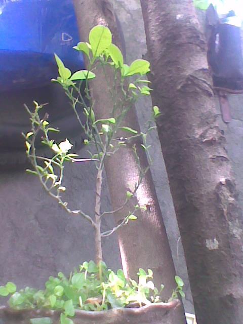 how to grow a calamansi tree