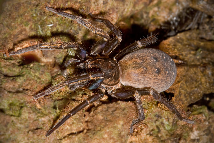 Ground hunting spider