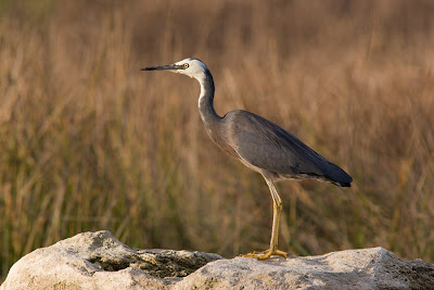 White-faced heron at Flounder Bay