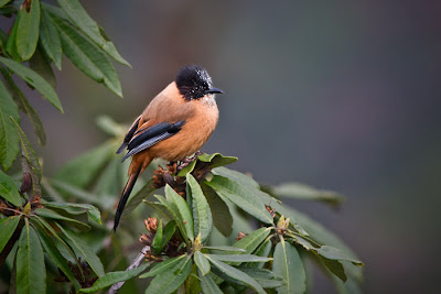 Rufous sibia at Chhomrong