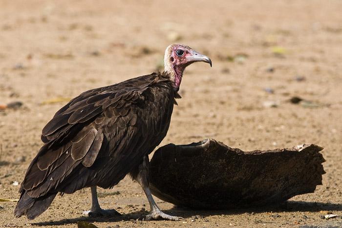 Vulture, Ghana