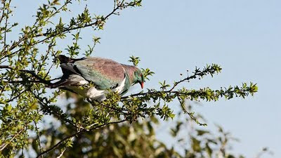 Kereru in plum