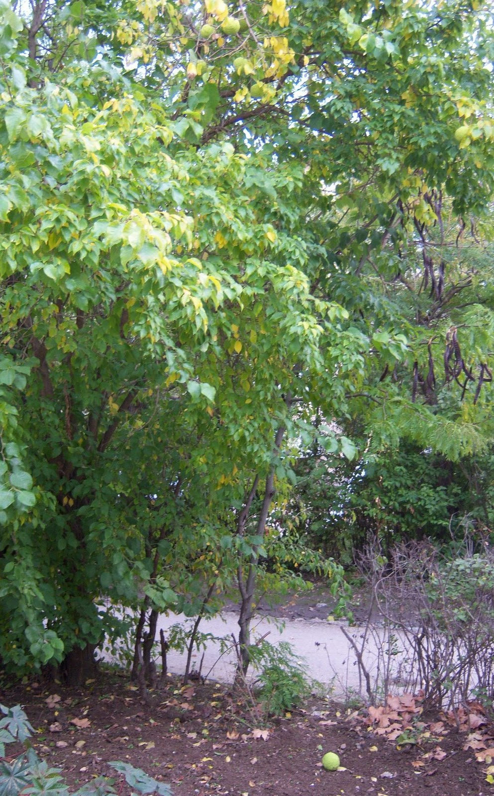 дерева маклюра