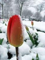 тюльпан в снегу