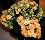 Цветущий Каланхое
