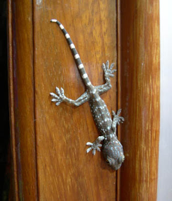 Gecko in my lounge