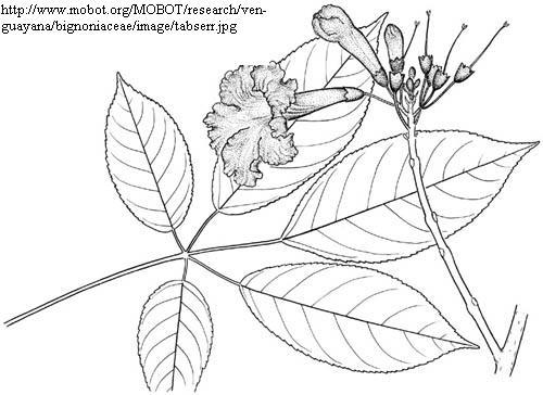 ipe de jardim botânico:Tabebuia serratifolia