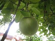我家门前的柚子树