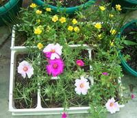 Bunga Penutup Tanah