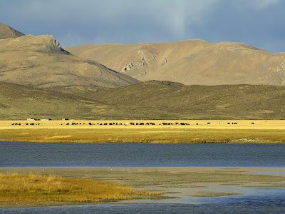 grazing yak tibet