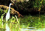 Egret vigil