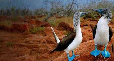bing image blue footed bird on august 4