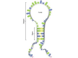 Dinky+hairpin+RNA.jpg