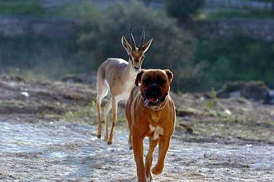 Gacelas y perros