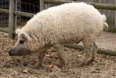 Cerdo-oveja