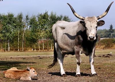 Vaca húngara gris