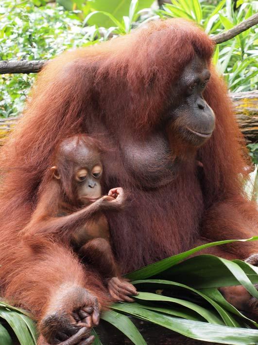 Orangutang Singapore Zoo