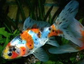 The pondplant girl 39 s blog pond fish and algae control for What do koi fish eat