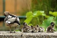Afbeelding van jonge vogels die het voorbeeld van hun moeder volgen