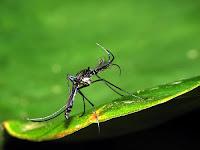afbeelding muskiet