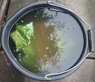 Rhubarb leaves fermenting in water