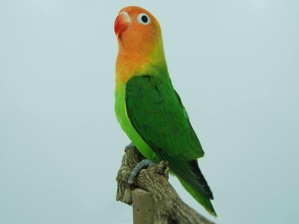 budidaya dan ternak jenis jenis burung lovebird